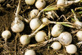 Harvest onions Royalty Free Stock Photo