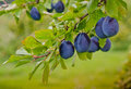 Harvest of plums deep purple hang from the branch at an orchard waiting to be picked Stock Photos