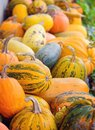 Harvest pumpkins. Different varieties of squashes and pumpkins Royalty Free Stock Photo