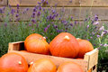 Harvest of pumpkins in the garden Royalty Free Stock Photo