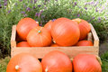 Harvest of pumpkins Royalty Free Stock Photo