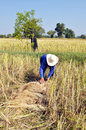 Title: Harvest rice in rural,