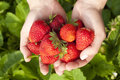Harvest ripe strawberrie strawberries in the garden Royalty Free Stock Photo