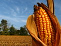 Harvest Season Corn Royalty Free Stock Photo