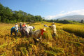 Harvest season farmers their rice thailand Royalty Free Stock Images