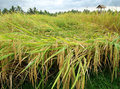 Harvest time in Bali, scenic landscape Royalty Free Stock Photos