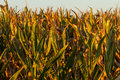 Almost harvest time for this crop of field corn Royalty Free Stock Photo