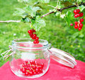 Harvest time currants currant in your own garden with glass Royalty Free Stock Images