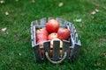 Harvest Time, Fresh Apples In ...