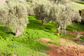 Harvest Time in Olive Tree Garden Stock Photography