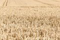 Harvest time ripe corn in poland rzepak Royalty Free Stock Photos