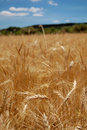 Harvest time - Ripe wheat field Royalty Free Stock Image