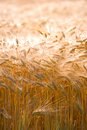 Harvest - very sharp and detailed Royalty Free Stock Photo