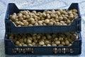 Harvest of walnuts Stock Photos