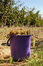 Harvest of white grape busket full mature on vineyard Stock Photography