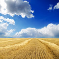 Harvest in windrows Royalty Free Stock Images