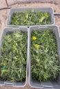 Harvested and boxed marijuana plants Royalty Free Stock Photo