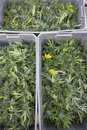 Harvested and boxed marijuana plants medical freshly ready for transport to drying shed legally grown in california Stock Photography