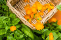 Harvested marigolds in the basket on the flowerbed Royalty Free Stock Photo