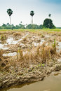 Harvested Padi Field Royalty Free Stock Photo