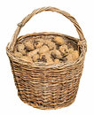 Harvested potatoes in an old wicker basket Royalty Free Stock Photo