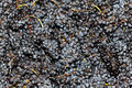 Harvested Red Wine Grapes Stock Photo