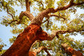 Harvested trunk of an old cork oak tree Quercus suber in evening sun, Alentejo Portugal Royalty Free Stock Photo