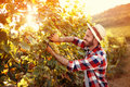 Harvester cutting bunch of grapes in vineyard Royalty Free Stock Photo