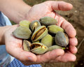 Harvesting almonds almonds in the palms peel shell green nut handful hands harvest gather appetizer health Royalty Free Stock Images
