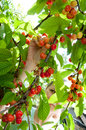 Harvesting bio cherries Royalty Free Stock Photo
