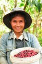 Harvesting coffee berries salavan lao pdr february unidentified farmer is in her farm at vangyawn village february Stock Image