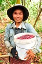 Harvesting coffee berries salavan lao pdr february unidentified farmer is in her farm at vangyawn village february Royalty Free Stock Photography