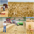 Harvesting collage of wheat process in field Royalty Free Stock Images