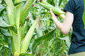 Harvesting corn Royalty Free Stock Photo
