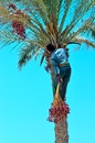 Harvesting dates palm marsa alam egypt Royalty Free Stock Photo