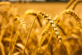 Harvesting ears of wheat Royalty Free Stock Photography