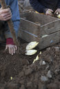 Harvesting Endives /Chicory Grown in soil Stock Photos