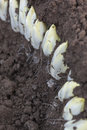 Harvesting Endives /Chicory Grown in soil Stock Images