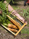 Harvesting fresh carrots from a garden Royalty Free Stock Photography