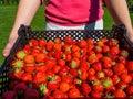Harvesting fresh Sweet red strawberry. Strawberry Farm Box with ripe berry
