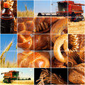 Harvesting of grain crops in late summer Royalty Free Stock Image