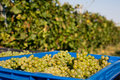 Harvesting of grapes Royalty Free Stock Photography