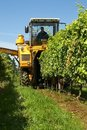 Harvesting Grapes Royalty Free Stock Photo