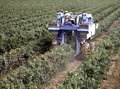 Harvesting the grapes on a mechanical way Royalty Free Stock Photo