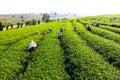 Harvesting green tea people bush Stock Photos