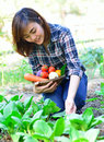 Harvesting organic vegetables Royalty Free Stock Photography