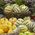 Harvesting pumpkins, small decorative edible pumpkins yellow orange green striped. Group of ripe pumpkin fruits, farm vegetables