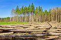 Harvesting timber in the young coniferous forest Royalty Free Stock Photography