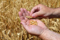 Harvesting wheat grains in a farmer s hands on the wheat field background cereal agricultural theme Royalty Free Stock Photos