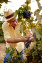 Harvesting wine grapes on grape vine Royalty Free Stock Photo